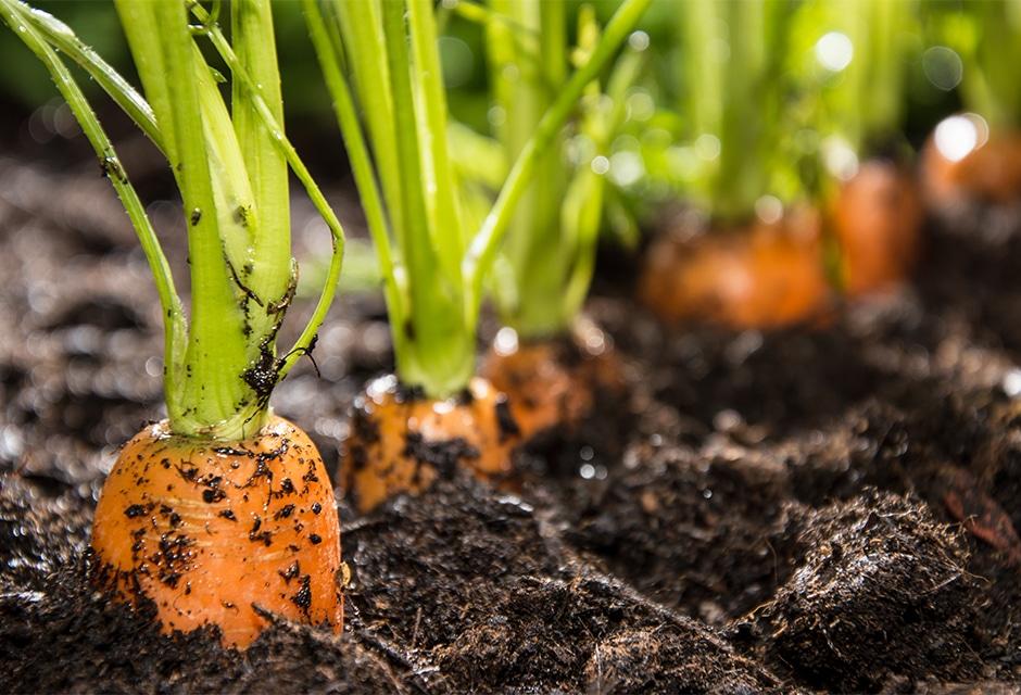 Repiquer des carottes : comment doit-on s'y prendre ?