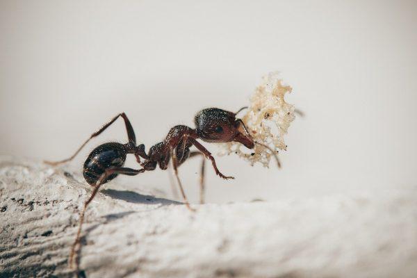 Comment lutter contre les fourmis dans la maison ?
