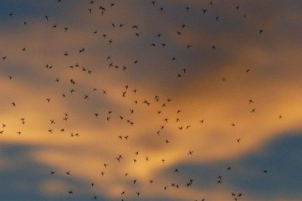Quelle odeur attire les moustiques ?