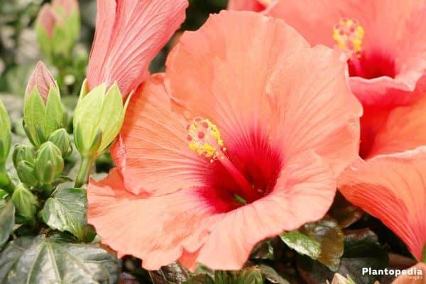 Comment savoir si mon hibiscus est d'intérieur ou d'extérieur ?