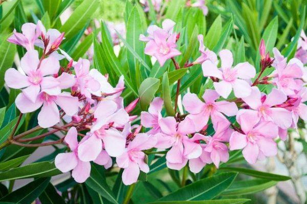 Maladie du laurier-rose : les problèmes courants
