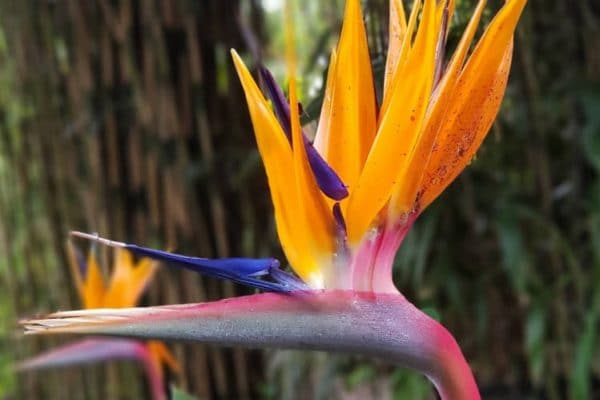 Oiseau de paradis : les soins à apporter